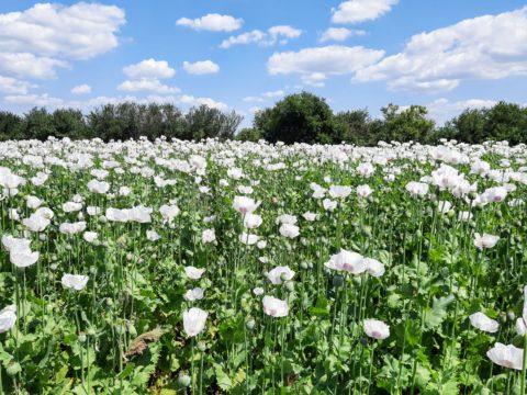 pole, mák, zemědělství, zemědělec, dotace, EU dotace na zemědělství